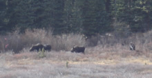 Moose on the site